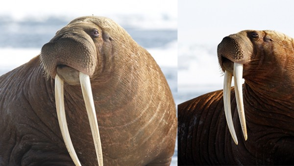 Guess the length of walrus' tusks